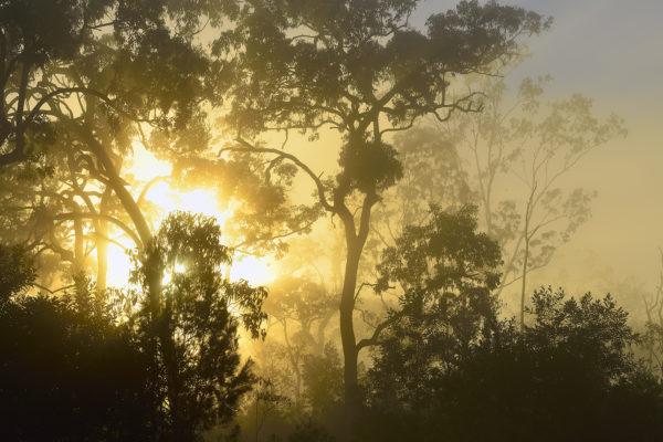 Forêt des brumes