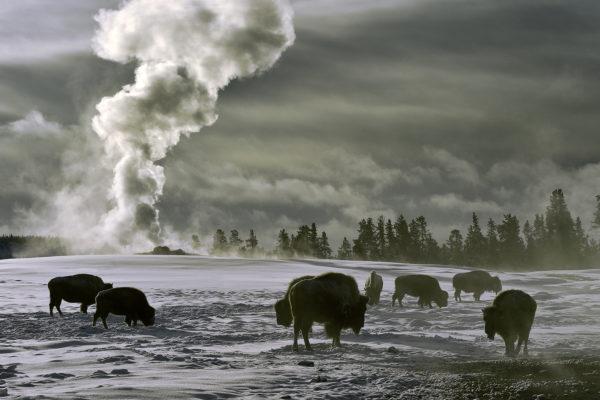 Bisons givrés